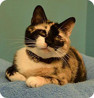 Domestic Shorthair Cat for adoption in Cincinnati, Ohio - Billie Holiday