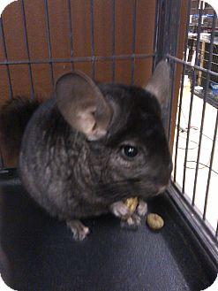 Chinchilla for adoption in North Lima, Ohio - Ivy