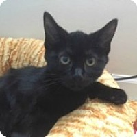 Adopt A Pet :: Shadow - McHenry, IL