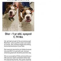 American Bulldog Dog for adoption in New York, New York - Dior