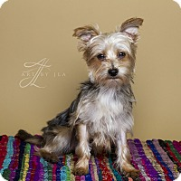 Yorkie, Yorkshire Terrier Dog for adoption in Baton Rouge, Louisiana - Axle