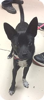 Rat Terrier/Chihuahua Mix Dog for adoption in Decatur, Alabama - Fido