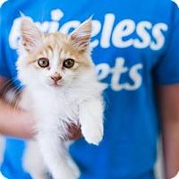 Domestic Mediumhair Kitten for adoption in Chino Hills, California - Tiger - Claremont