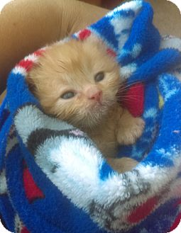 Domestic Shorthair Kitten for adoption in Garland, Texas - Poe
