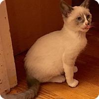 Adopt A Pet :: Shrek - Millersville, MD