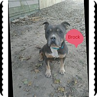 American Staffordshire Terrier/American Pit Bull Terrier Mix Dog for adoption in Covington, Tennessee - Brock