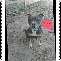 Adopt A Pet :: Brock - Covington, TN