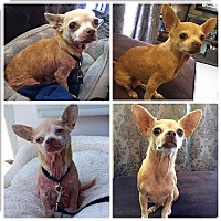 Adopt A Pet :: Mini - Encino, CA