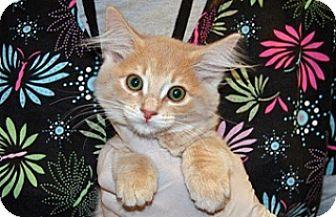 Domestic Shorthair Kitten for adoption in Wildomar, California - 319752
