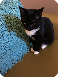Domestic Shorthair Kitten for adoption in Middletown, Connecticut - Rory