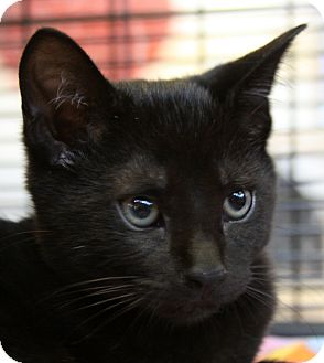 Domestic Shorthair Kitten for adoption in Sarasota, Florida - Mukluk