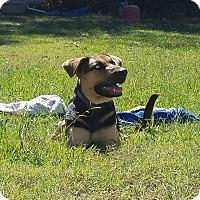 Adopt A Pet :: Venus - Glastonbury, CT