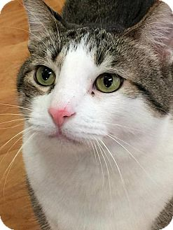 Domestic Shorthair Cat for adoption in Manchester, Missouri - Lee