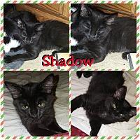 Adopt A Pet :: Shadow - Newtown, CT