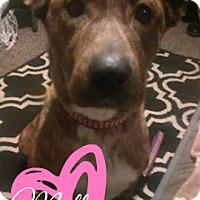 Adopt A Pet :: Mollie-Adoption Pending - Des Moines, IA