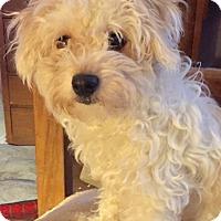 Adopt A Pet :: Gina - McKinney, TX
