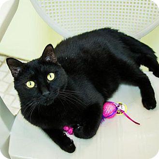 Domestic Shorthair Cat for adoption in St. Petersburg, Florida - Ebony