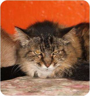 Maine Coon Cat for adoption in Metairie, Louisiana - Darla