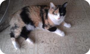 Domestic Shorthair Cat for adoption in Tempe, Arizona - Missy