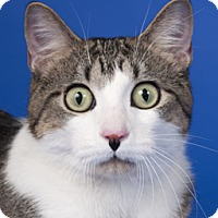 Domestic Shorthair Cat for adoption in Chicago, Illinois - Fallon