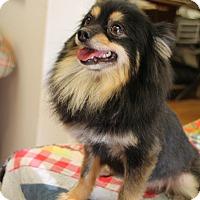 Adopt A Pet :: Bear - Homewood, AL