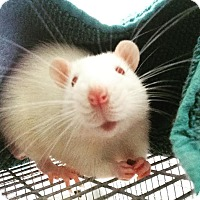 Adopt A Pet :: Westside Highway Rats - Brooklyn, NY
