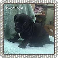 Adopt A Pet :: Bear (ETAA) - Plainfield, CT