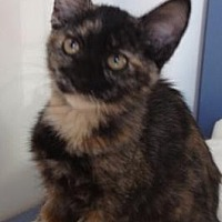 Adopt A Pet :: Choco - Roseville, CA