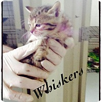 Domestic Shorthair Kitten for adoption in Dillon, South Carolina - Whiskers