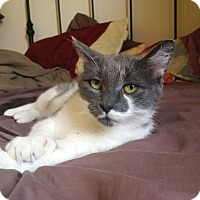 Domestic Shorthair Cat for adoption in THORNHILL, Ontario - Viola
