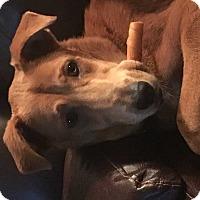 Adopt A Pet :: Elle - San Angelo, TX