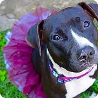 Adopt A Pet :: Callie - College Station, TX
