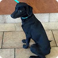 Adopt A Pet :: Rayce - Oswego, IL