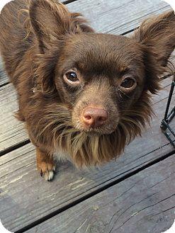 Chihuahua Dog for adoption in Cleveland, Ohio - Davis