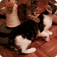 Domestic Shorthair Kitten for adoption in West Palm Beach, Florida - Buster