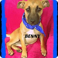 Pug/Boxer Mix Puppy for adoption in Princeton, Kentucky - Benny