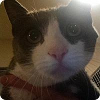Adopt A Pet :: Spitz - Glendale, AZ