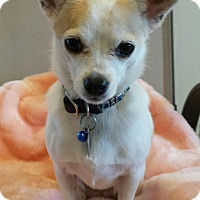Adopt A Pet :: Dixie - Scottsdale, AZ