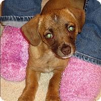 Adopt A Pet :: CHLOE the Cuddle Bug - Nampa, ID