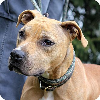 Pit Bull Terrier Mix Dog for adoption in Springfield, Illinois - Ginger: Sweet-Natured!