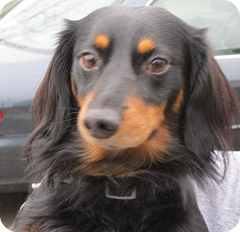 Dachshund Dog for adoption in Portland, Oregon - SAMPSON