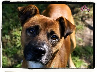 Boxer Mix Dog for adoption in Elmwood Park, New Jersey - Riley