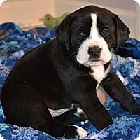 Adopt A Pet :: Hugo - Portland, ME