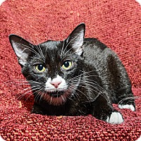 Adopt A Pet :: Sylvester - New York, NY
