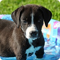 Adopt A Pet :: *Laurie Foreman - PENDING - Westport, CT