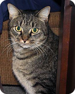 American Shorthair Cat for adoption in Ruther Glen, Virginia - Sammy