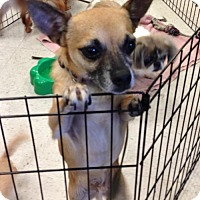 Chihuahua Dog for adoption in Lithia, Florida - TOBY-14
