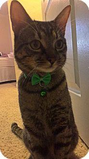 Egyptian Mau Cat for adoption in Cerritos, California - Vinny