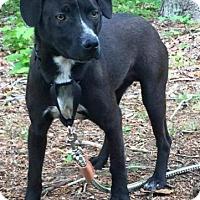 Adopt A Pet :: Pete - Brattleboro, VT