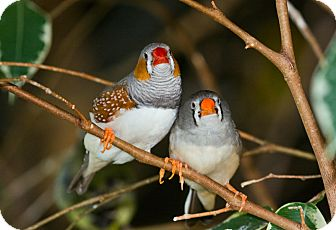 Finch for adoption in Shawnee Mission, Kansas - Zebra Finches